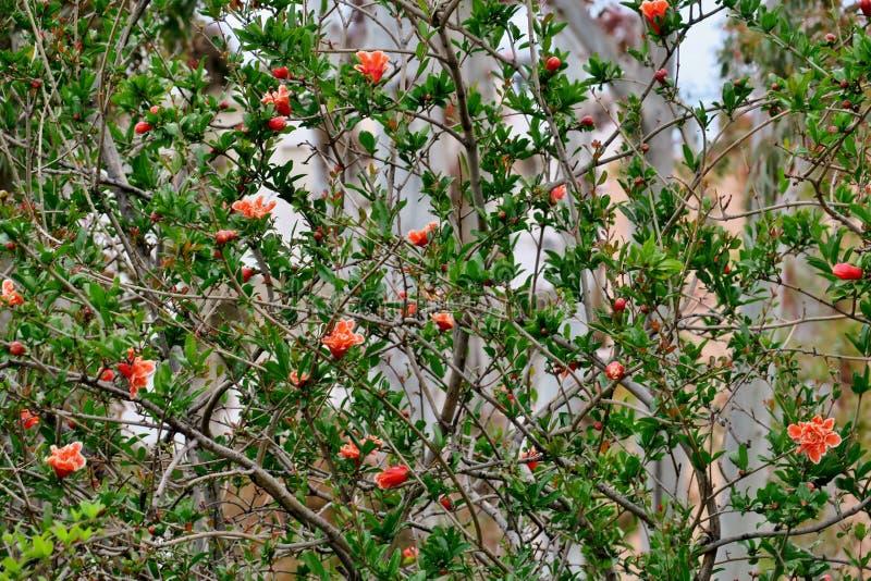 Blom för granatäppleträd med rosa och vita ljusa blommor royaltyfri foto
