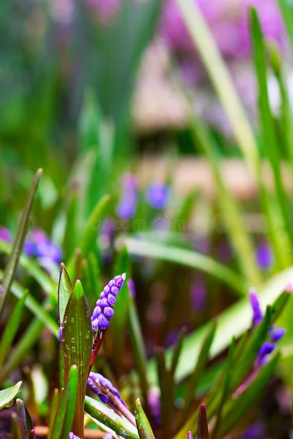 Blom för hyacint för Muscariarmeniacumdruva i tidig vår Violett blommaMuscari på bakgrunden av den defocused gröna trädgården och arkivbilder