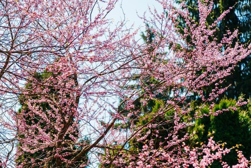 Blom för körsbärsrött träd i rosa blommor i vår arkivfoto