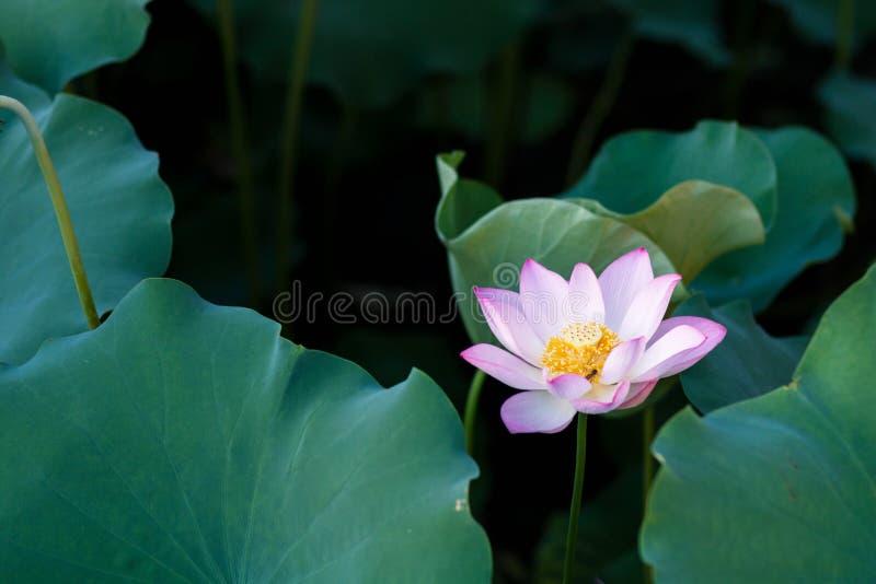 Blom för Lotus blommor i parkera royaltyfria foton