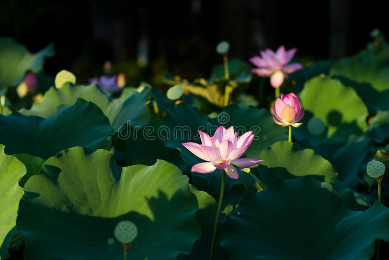 Blom för Lotus blommor i parkera arkivbilder