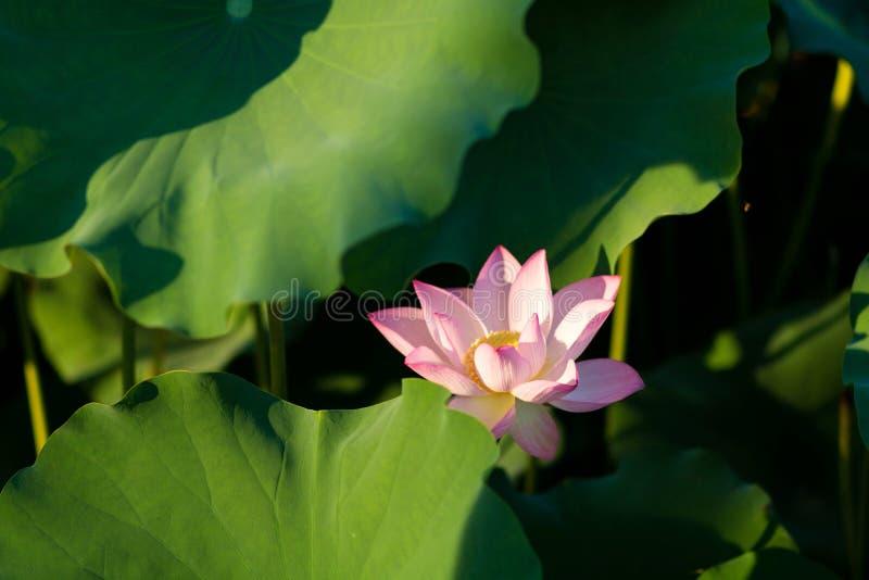 Blom för Lotus blommor i parkera arkivbild