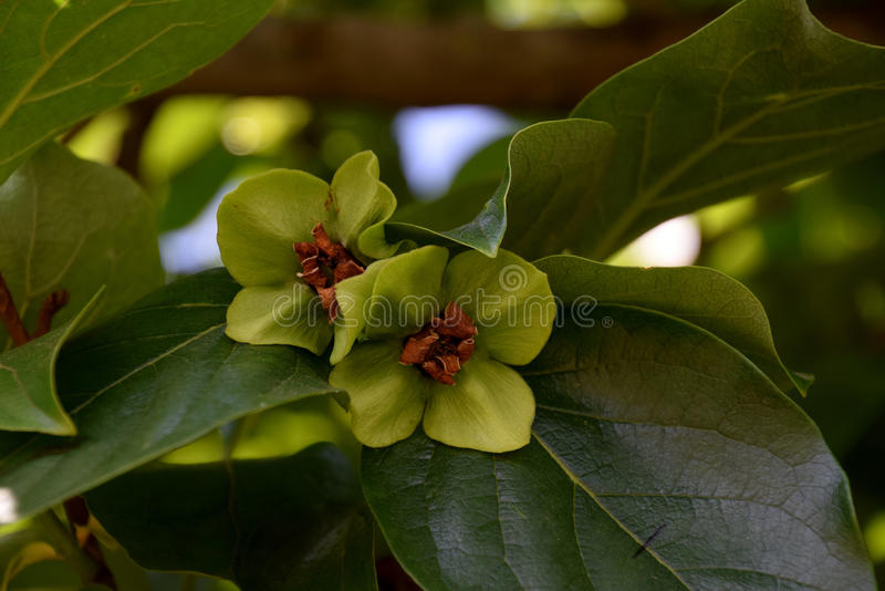 Blom för persimonträd fotografering för bildbyråer