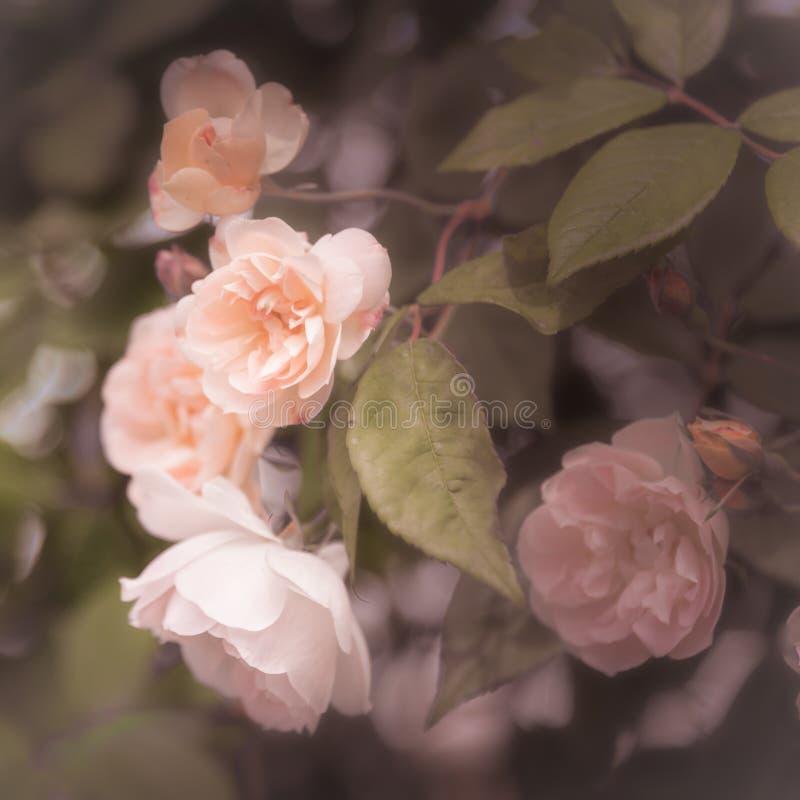 Blom för rosor för pastellfärgade rosa färger oavkortad på den rosa busken arkivbilder