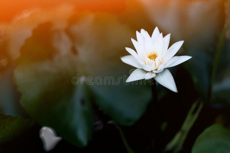 Blom för vit lotusblomma i morgonen royaltyfri fotografi