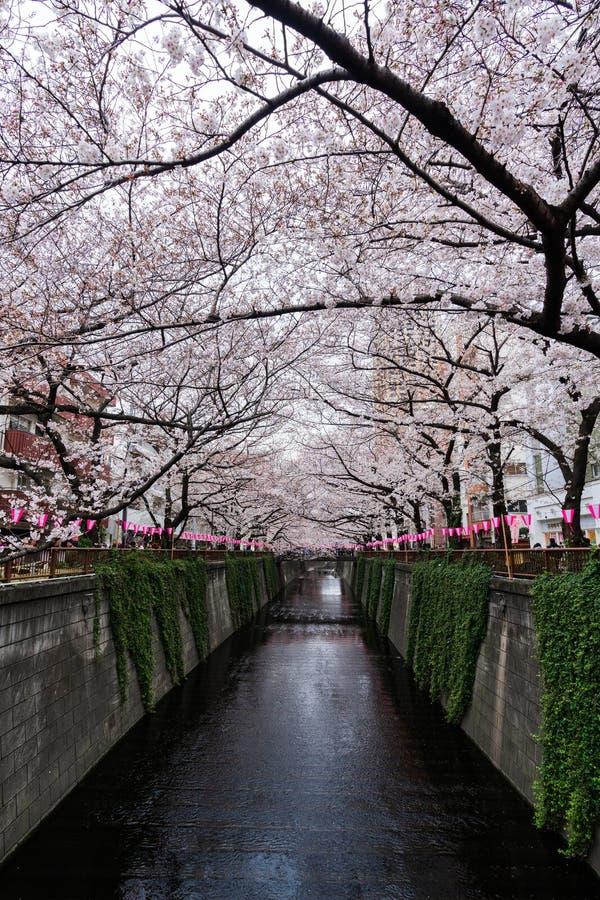 Blom f?r festival f?r k?rsb?rsr?d blomning oavkortad p? den Meguro floden Den Meguro floden ?r en av det b?sta st?llet som tycker fotografering för bildbyråer