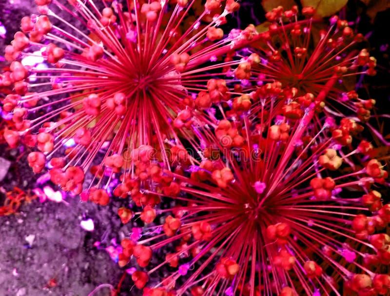 Blom- fyrverkerier royaltyfria bilder