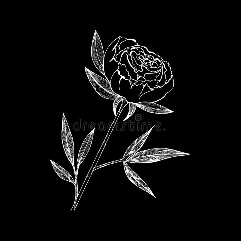 Blom- illustration för vektor av pionen och sidor Linjära tappningdiagram skissa färgpulver stock illustrationer