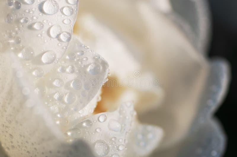 Blom- kronblad för blomman för bakgrundsvitrosen som täckas av vatten, tappar closeupen royaltyfri foto