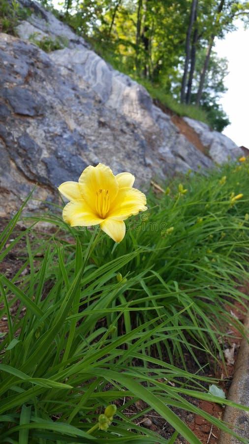 blom lilly arkivbild