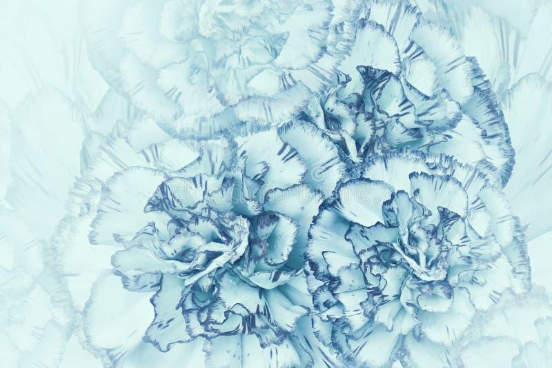 Blom- ljus turkosbakgrund Blommor av vit-turkos nejlikor Närbild festlig vykort royaltyfri illustrationer