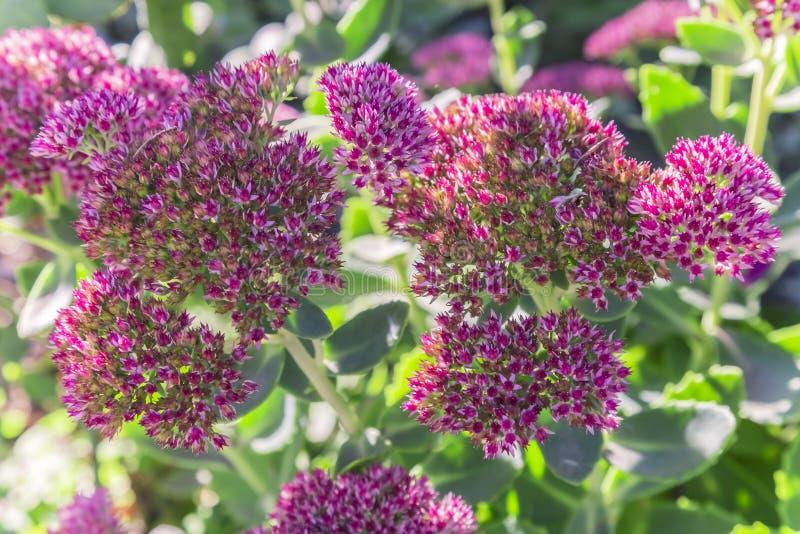 Blom- naturlig bakgrund för ljus höst med att blomma rosa flowe royaltyfri bild