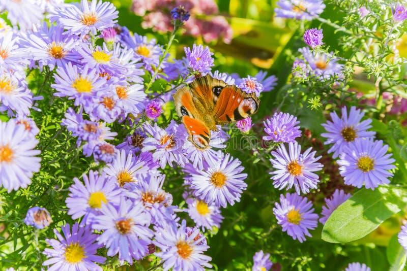 Blom- naturlig bakgrund för ljus höst med fjärilen på lilor arkivfoto