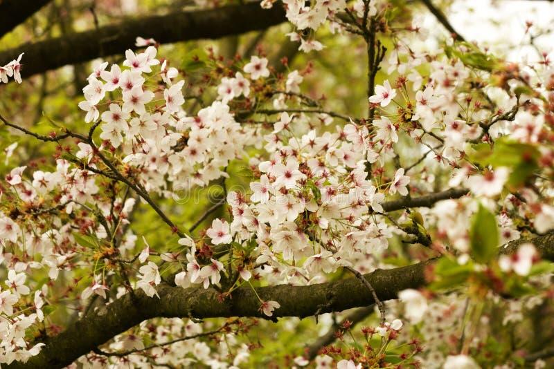 Blom på körsbärsrött träd för blomning fotografering för bildbyråer