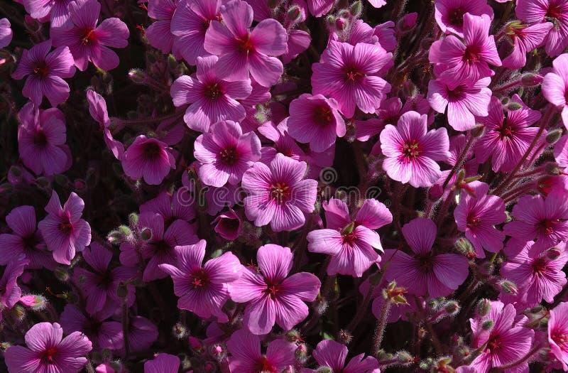 blom- purple royaltyfri foto
