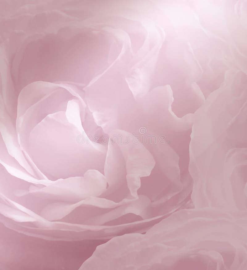 Blom- rosa färg-vit härlig bakgrund för tät slappt övre fokusrose för blue slapp fokus arkivfoton