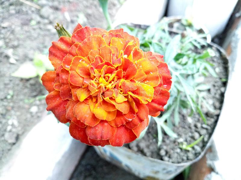 Blom- skönhet arkivbilder