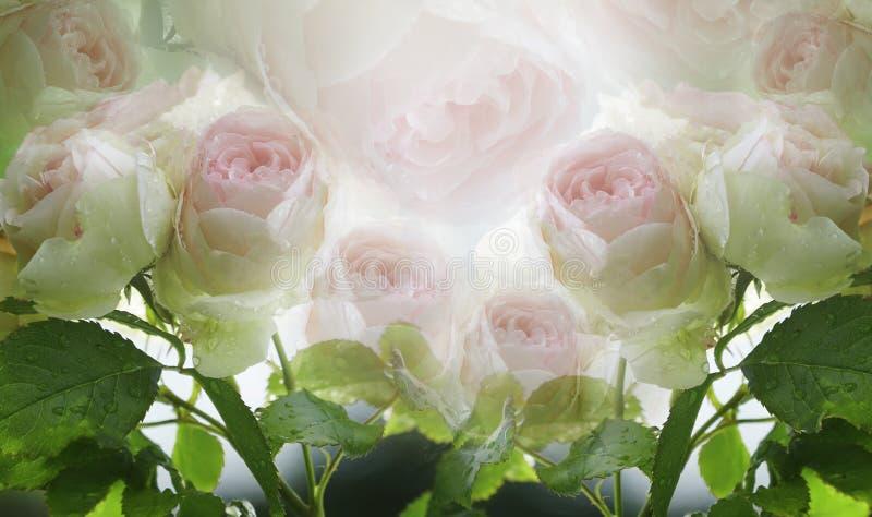Blom- sommarvit-rosa färger härlig bakgrund En mjuk bukett av rosor med gräsplansidor på stammen efter regnet med droppar royaltyfri fotografi