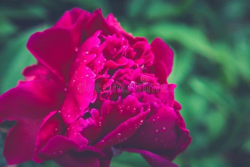 Blom- tapet, bakgrund från blommakronblad Moderiktig färg B royaltyfria bilder