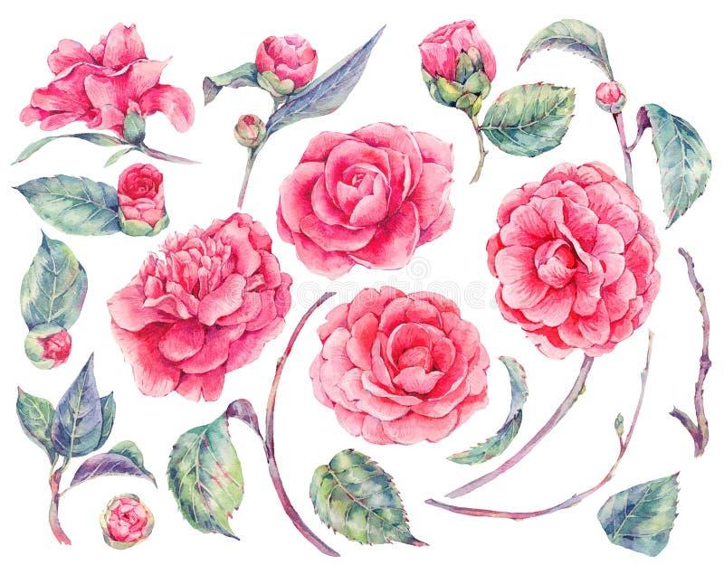 Blom- uppsättning för vattenfärg av kameliablommor vektor illustrationer