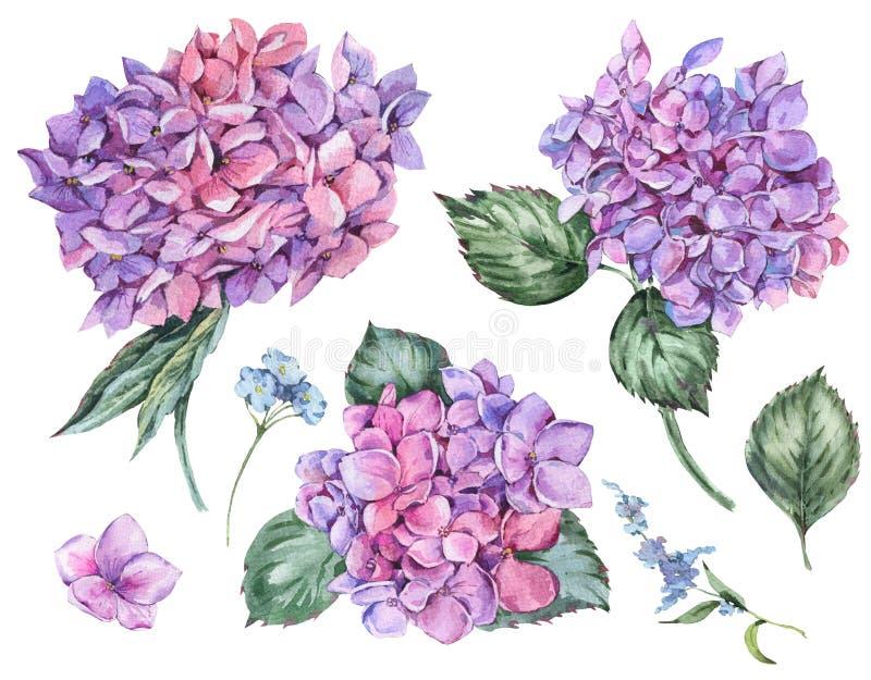 Blom- uppsättning för vattenfärgsommar av tappning som blommar vanliga hortensian royaltyfri illustrationer