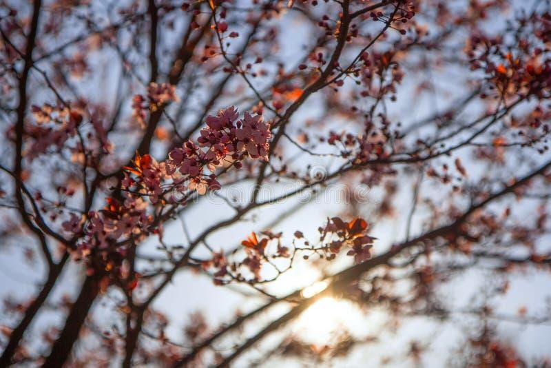 Blom- vårbakgrund, en filial av Sakura i strålarna av solen fotografering för bildbyråer