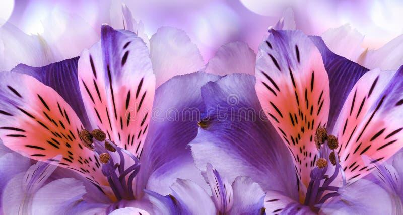 Blom- violett bakgrund Alstroemeriablommanärbild Natur arkivfoto