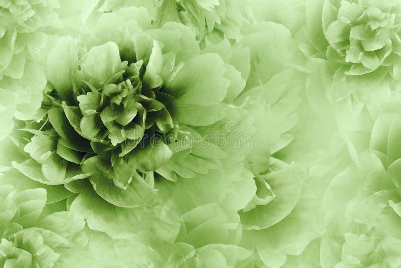Blom- vit-gräsplan bakgrund Pioner blommar närbilden på ett genomskinligt rastrerat ljus - grön bakgrund greeting lyckligt nytt å royaltyfri fotografi