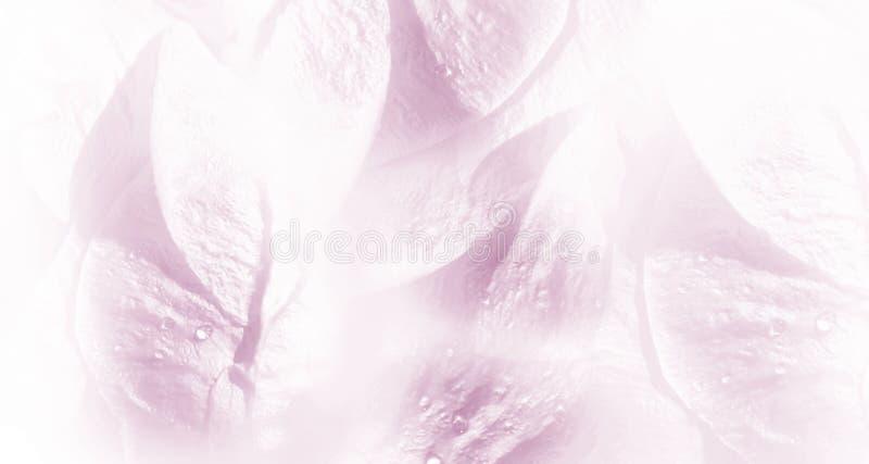 Blom- vit-rosa färger bakgrund Rosa blommakronbladnärbild efter regnet Bevattna liten droppe på petalsna fotografering för bildbyråer