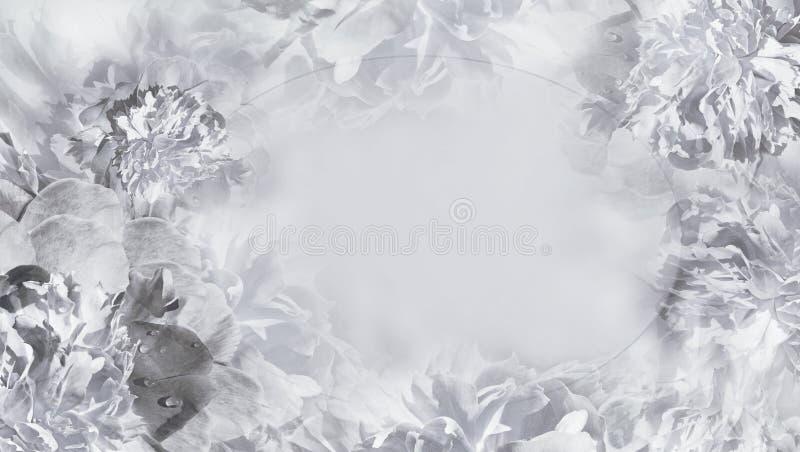 Blom- vit-svart bakgrund Blommor och vit pionnärbild för kronblad greeting lyckligt nytt ?r f?r 2007 kort placera text royaltyfri bild