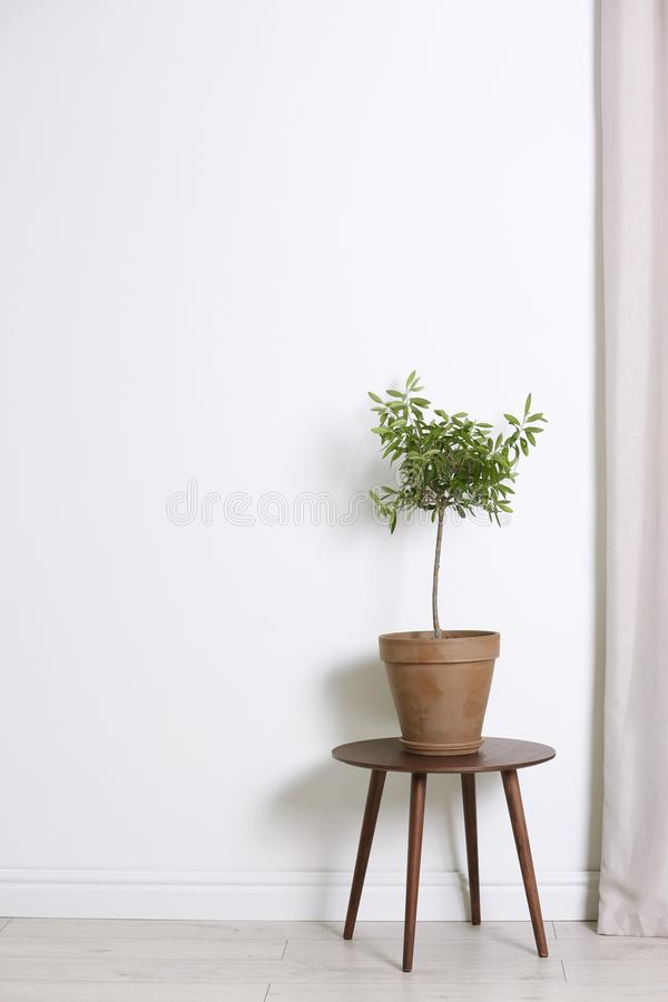 Blomkruka med den olivgröna växten på tabellen nära den vita väggen royaltyfri foto