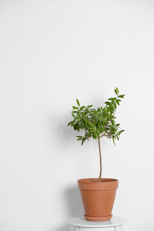 Blomkruka med den olivgröna växten på tabellen på vit bakgrund fotografering för bildbyråer