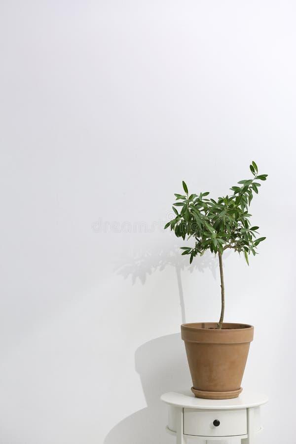 Blomkruka med den olivgröna växten på tabellen på vit bakgrund royaltyfria foton