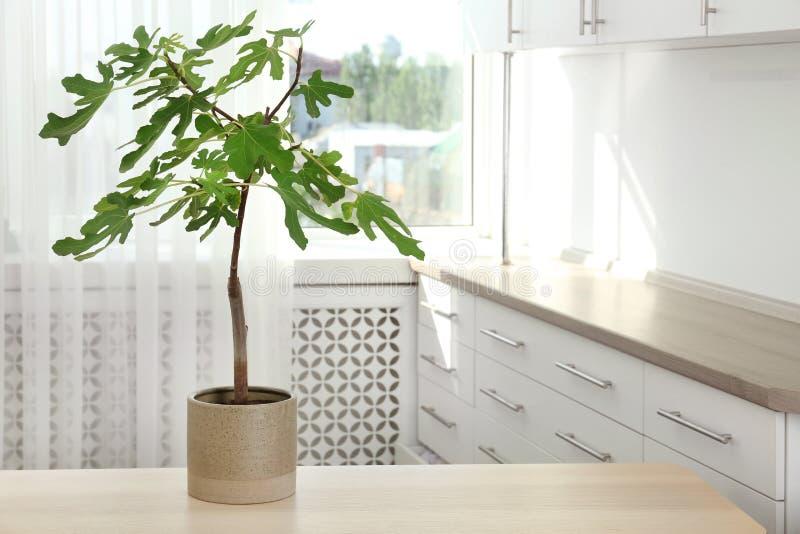 Blomkruka med den unga fikonträdet på tabellen inomhus royaltyfri bild