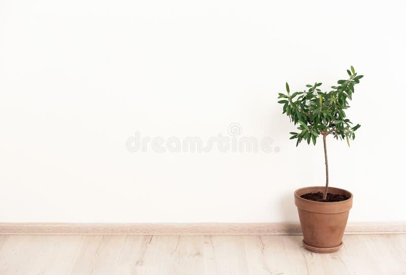 Blomkruka med den unga olivträdet nära den ljusa väggen arkivfoton