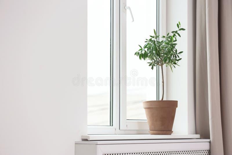 Blomkruka med den unga olivträdet på fönsterfönsterbräda arkivbilder