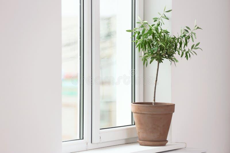 Blomkruka med den unga olivträdet på fönsterfönsterbräda arkivfoto
