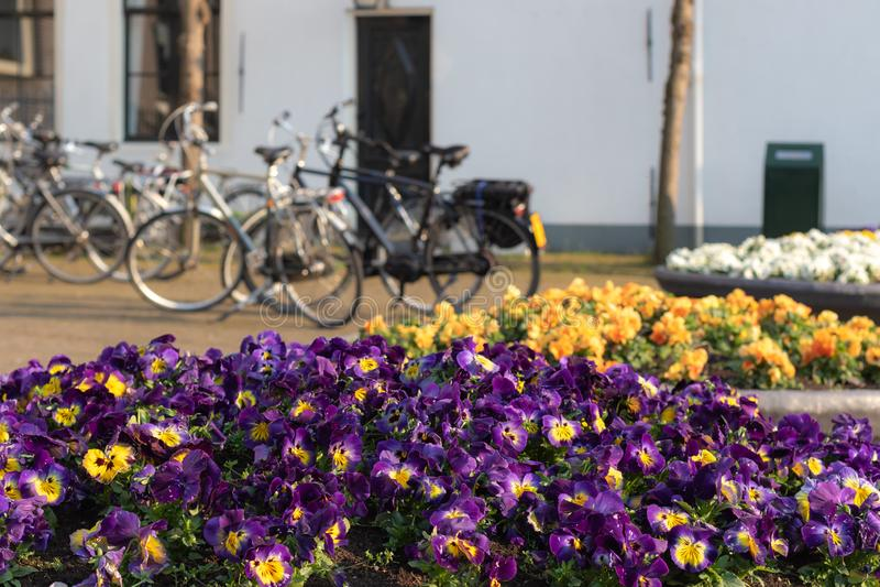 Blomkrukor med att blomma pansies och parkerade cyklar i bakgrund royaltyfria bilder