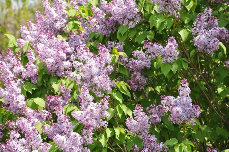 blomlilatree royaltyfri bild