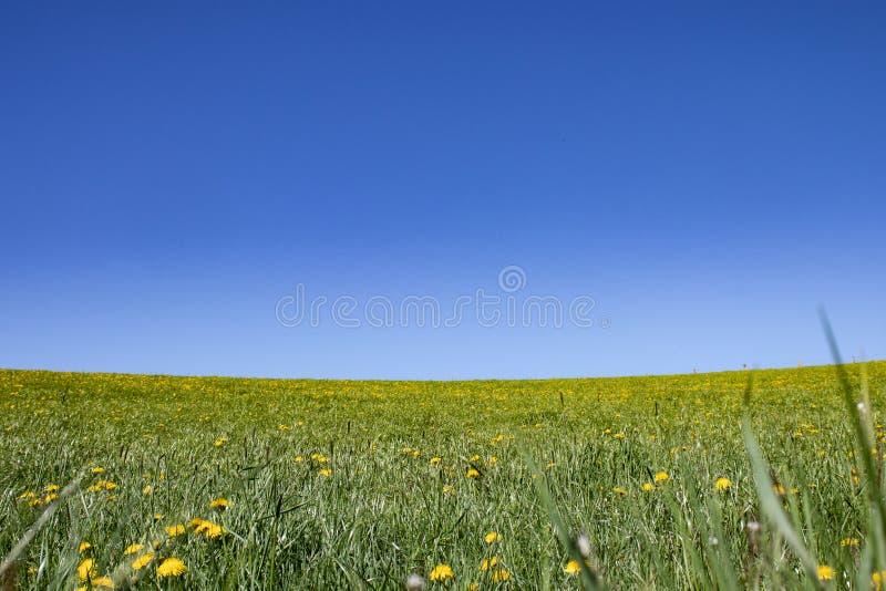 Blommaäng, grässlätt under blå himmel royaltyfria bilder