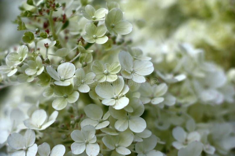 Blommaöverflöd av en vanlig hortensia royaltyfri bild