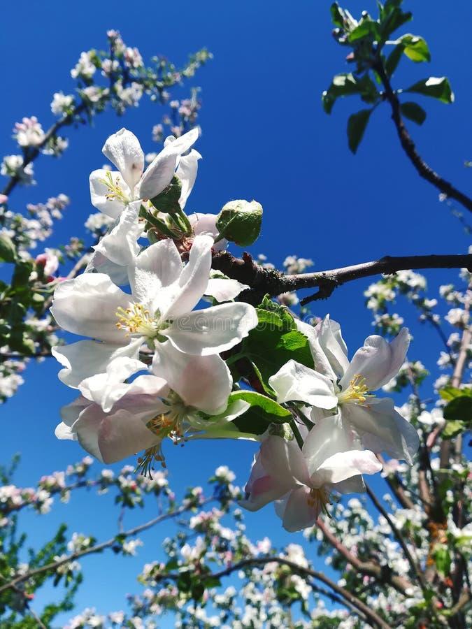 Blomma äppleträdet i vårcloseup med suddig bakgrund royaltyfri bild