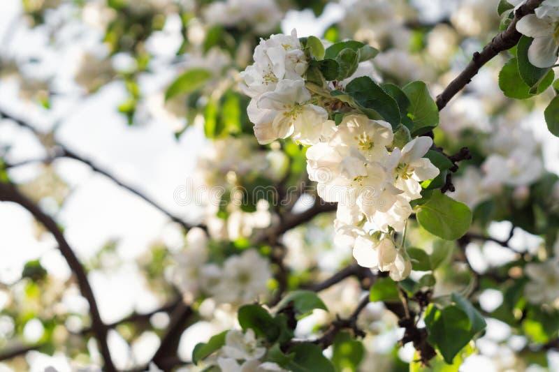 Blomma äppleträdfilialen i ljust solljus arkivbilder