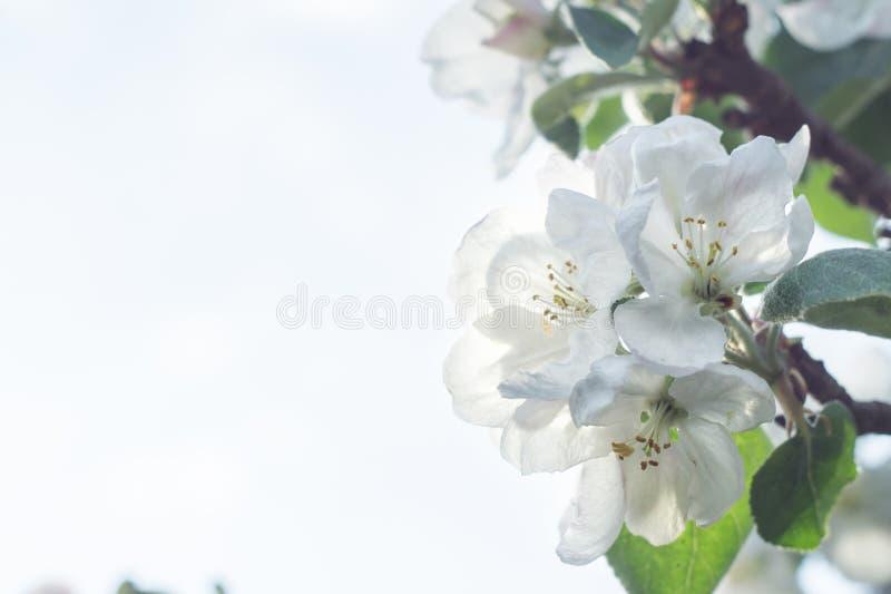 Blomma äppleträdfilialen i ljust solljus royaltyfri bild