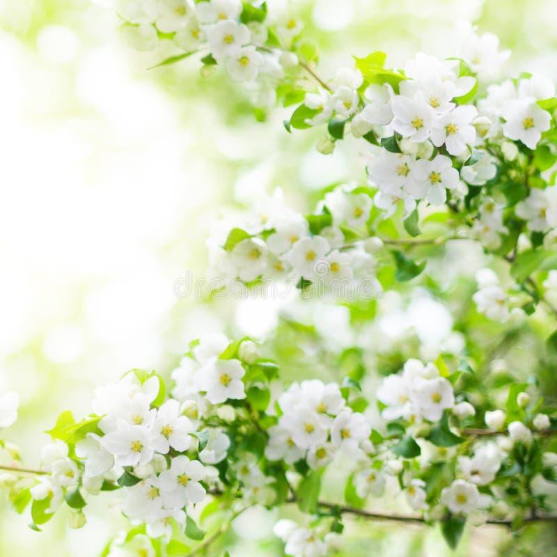 Blomma äppleträdfilialer, vita blommor på suddig bokehbakgrund för gröna sidor tätt upp, vårkörsbärsakura blomning royaltyfri fotografi