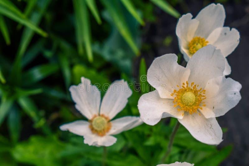 Blomma anemonen för vita blommor i trädgården fotografering för bildbyråer
