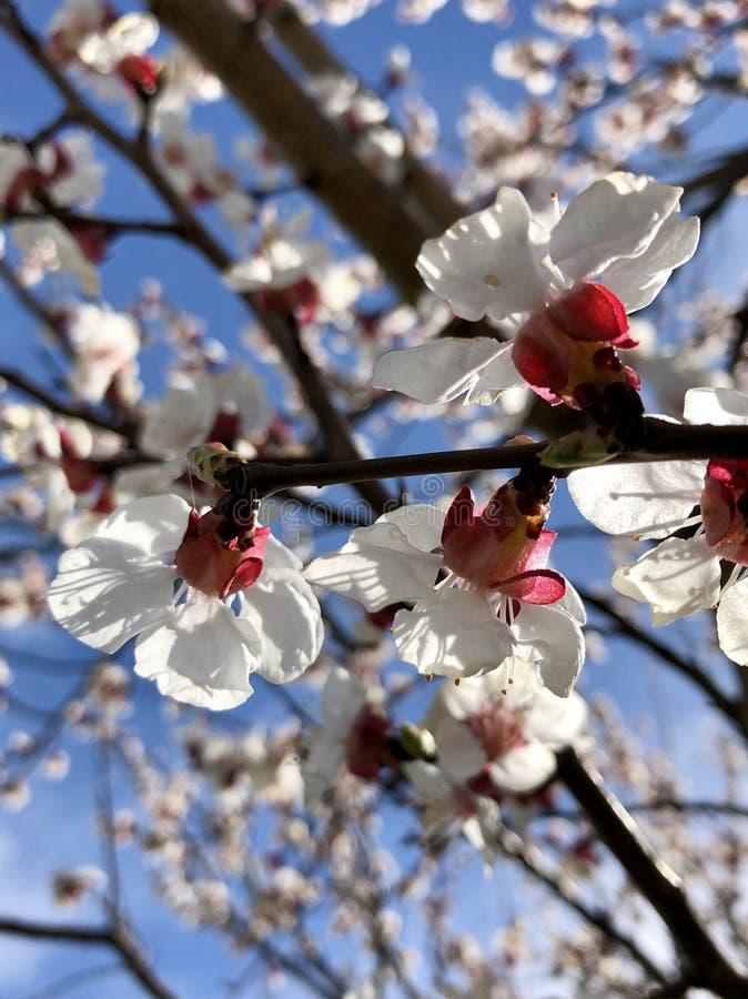 Blomma aprikosträdfilialer på bakgrunden för blå himmel arkivfoton