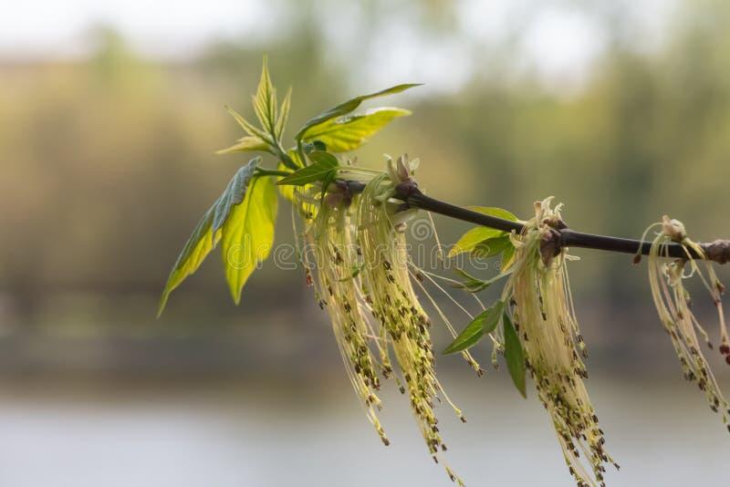 Blomma aska-leaved lönn suddighet bakgrund royaltyfria foton