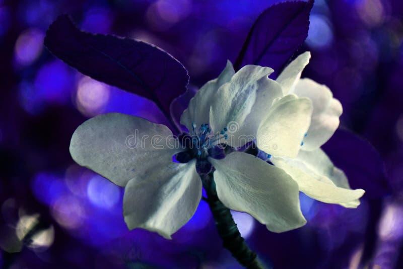 Blomma av äpplet i olika färger 1 fotografering för bildbyråer
