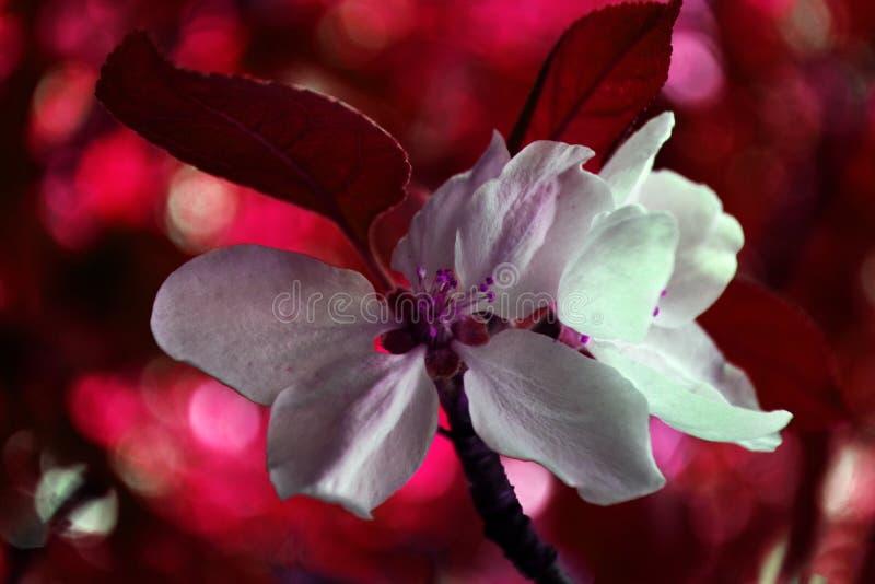Blomma av äpplet i olika färger 2 arkivfoto